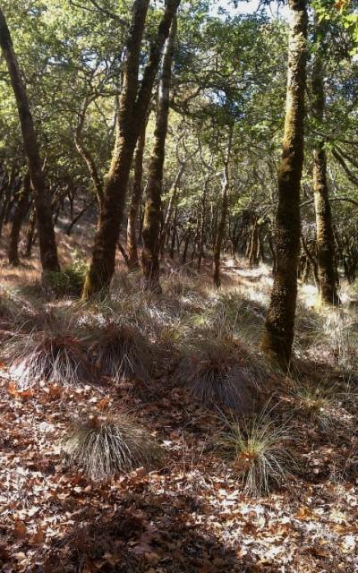 Q. garryana woodland